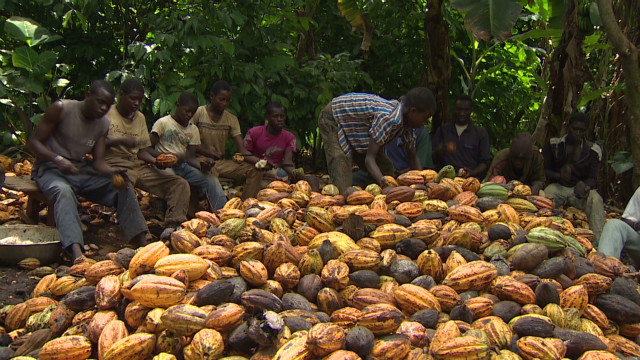 File Photo: Cocoa farmers working on their farms