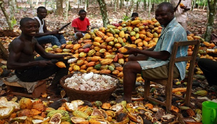 Ghana's cocoa is classified as one of the best among all cocoa producing countries