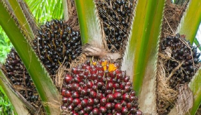The implementation of the bill will be followed by the establishment of a Tree Crop Authority