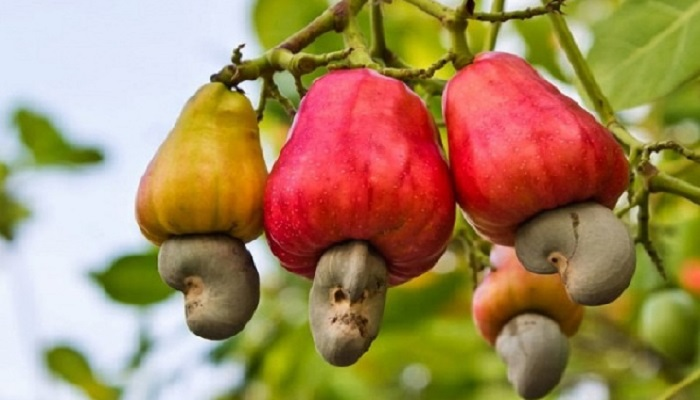 File photo: Cashew