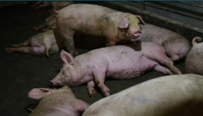 Animals are kept on a diet so they take longer fatten up due to the supply chain disruptions cau