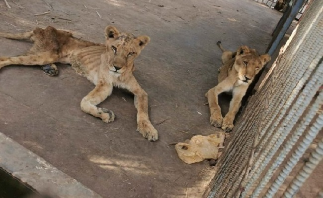 The lions are held in cages at Khartoum's Al-Qureshi Park