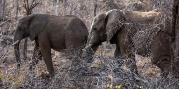 A number of elephants were seen crossing into Ghana