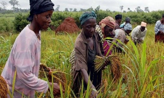 RIce farmers working on their farms   File photo